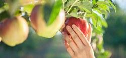 """""""Les Heures Heureuses"""" recoltent des pommes"""