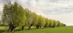 Le saule têtard et le peuplier acteurs de paysage en région Dendre-Collines