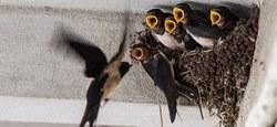 Les oiseaux des grandes cultures en Wallonie : une cause perdue ou vers un nouvel envol ?