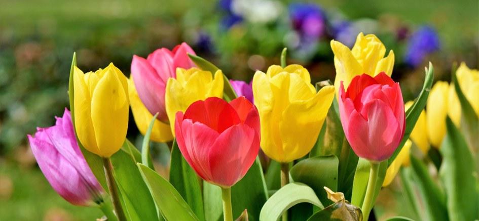 """Résultat de recherche d'images pour """"tulipes ath"""""""