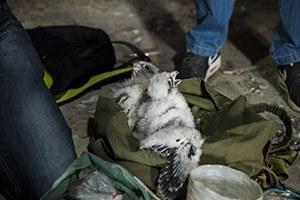 Le baguage des faucons en quelques images