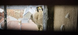 """""""Déconfinement"""" pour nos faucons"""