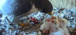 Le baguage : un outil essentiel pour le suivi de nos faucons