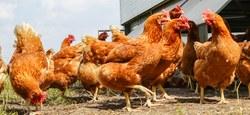 Grippe aviaire : confinement prolongé pour nos volailles