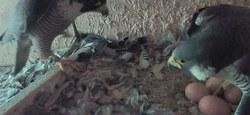 La Famille des Faucons Athois s'agrandit à nouveau