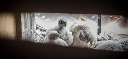 Venez observer les faucons
